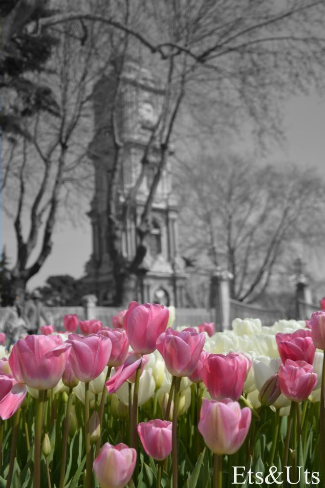 Tulipanes_Torre