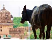 Vaca en Khujaraho India